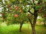 Плодово-ягодные деревья в саду